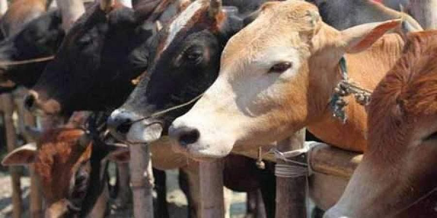 cow, cattle, cow slaughter, pti file image, dairy