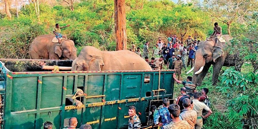 20-year-old jumbo 'Shankar' getting lifted onto a truck following a successful capture by the forest department near Gudalur in the Nilgiris; four Kumkis - Kalim, Sujai, Vijai and Srinivas - were used