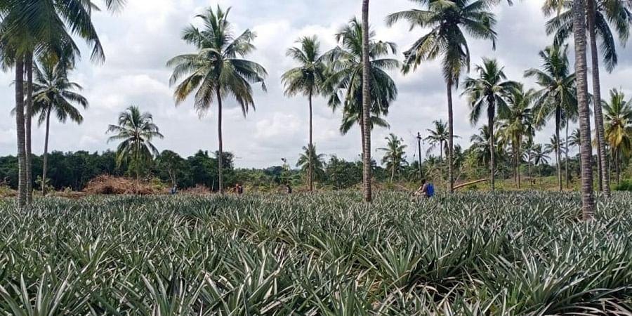 A pineapple farm in Karkala of Udupi district.   Express