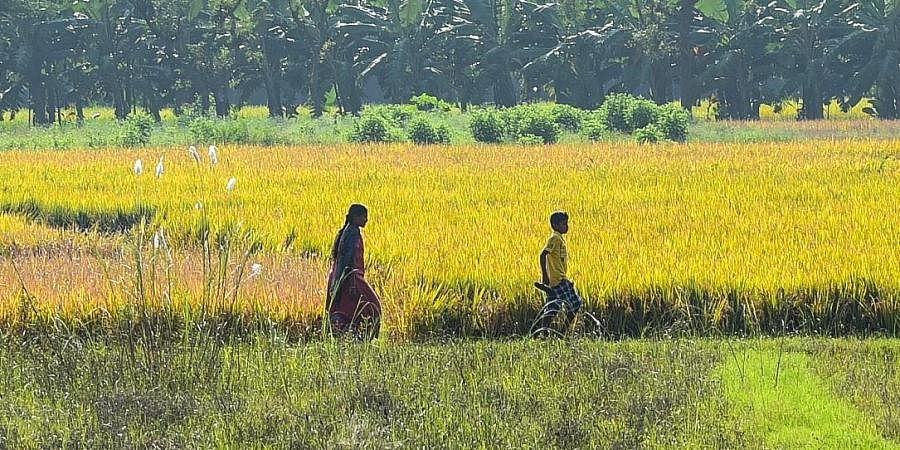 Though paddy crops at many places were ready for harvest, farmers had to wait for the water to drain off completely.