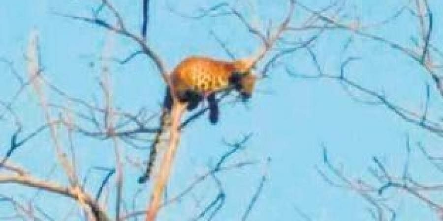 orest officials who arrived at the spot confirmed the presence of the leopard.