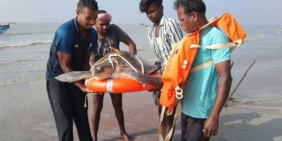The rescue workers carrying an adult Olive Ridley turtle on a lifebuoy to release it in the sea near Kodiyakarai. (Photo | Express)