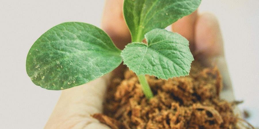 Saplings, Plantation, plant, green, ecofriendly