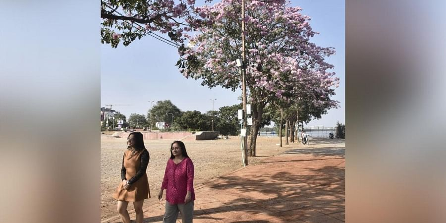 Pink Trumpet trees that bloom during early summer starting from March have started blooming ealry in the city due to abnormal temperatures. (Photo | Vinay Madapu, EPS)