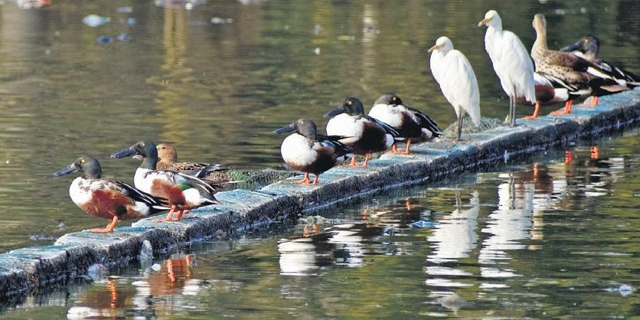 A flock of migratory birds, including northern shovelers and garganey, at Hussainsagar on Sunday | S Senbagapandiyan