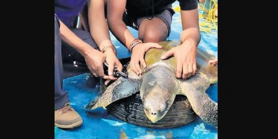 A turtle being tagged by ZSI and forest officials at Gahirmatha.