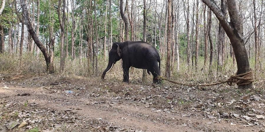 Kusha was recaptured at Meenukolli Reserve Forest limits