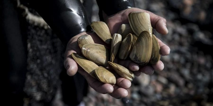 A fisherman shows saltwater clams. (Photo  AFP)