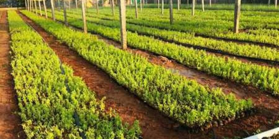 A plant nursery set up by the GHMC in Hyderabad