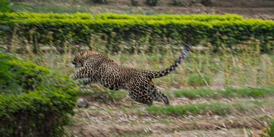 A leopard strays in Gandhi Nagar locality in Jammu city, Tuesday, April 6, 2021.