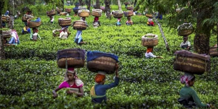 Tea garden in Assam.