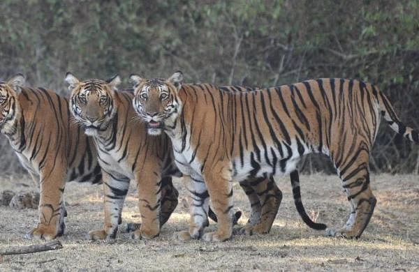 Reserves across India to have their own schedule to conduct tiger census