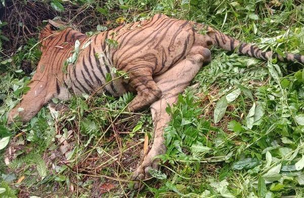 Kaziranga guards gun down Royal Bengal Tiger in 'self-defence'