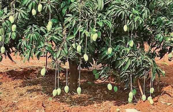 Farmer in Madhya Pradesh hires nine dogs, three guards to protect rare mangoes