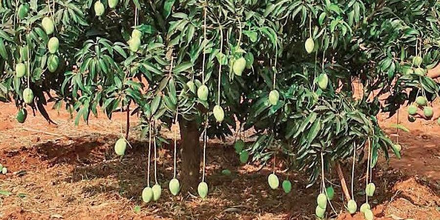 Mango trees, Mangoes
