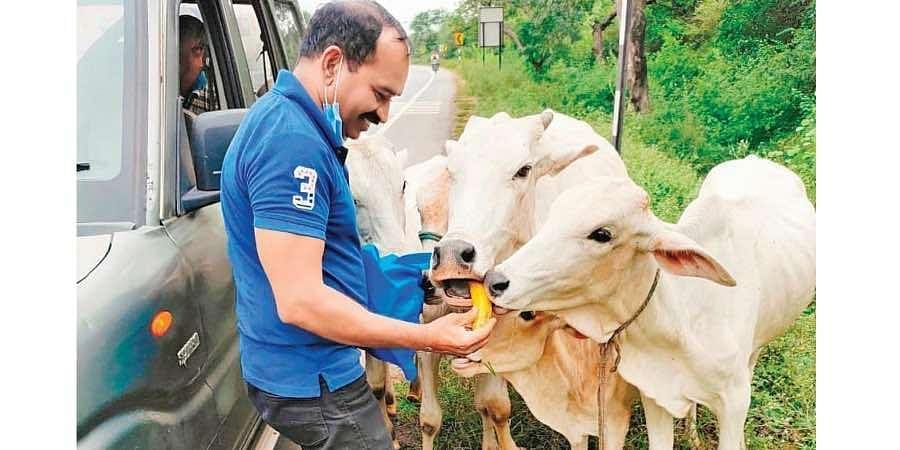 Cows eating out of Mohiuddin's hand