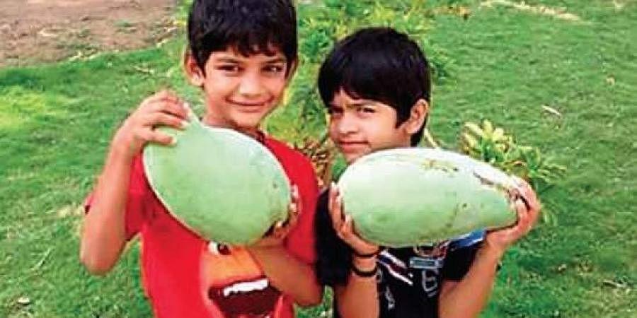 noor jahan mango