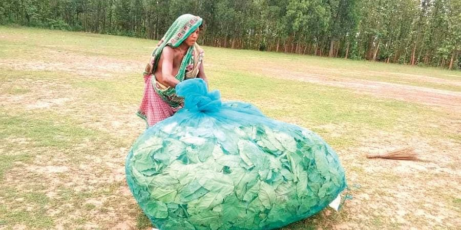 A tribal woman collecting sal leaf in Samakhunta block of Mayurbhanj.