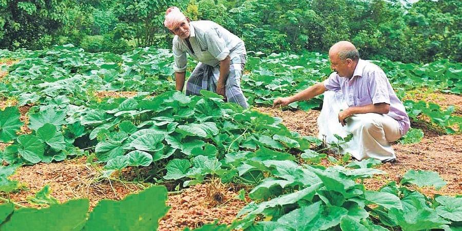 Mohan Mathai and Abraham Baby in their vegetable farm at Mattakuzhi.