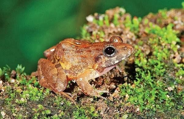 Delhi University researchers discovernew species of frog in Western Ghats