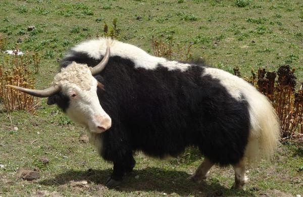 Yak farming in Arunachal Pradesh gets a boost as banks chip in with credit support